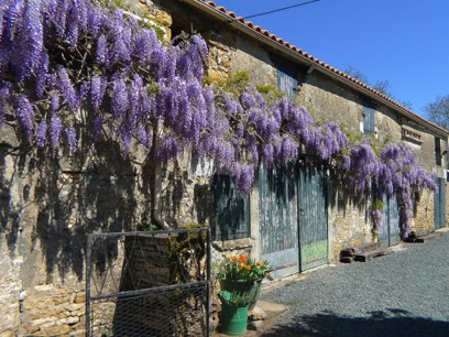Wisteria growing at le Gite Tranquille